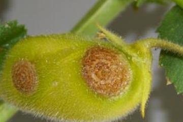 Pulse Australia - 2018 season fungicide guide